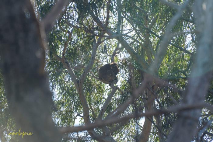 you yangs koala 1