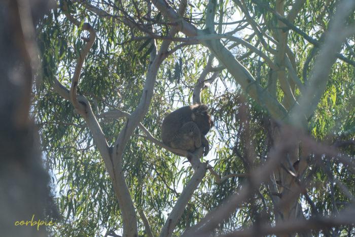 you yangs koala 2