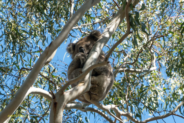 A You Yangs Koala
