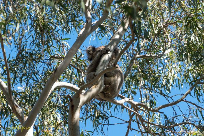 you yangs koala 7